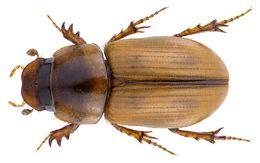 Image of <i>Labarrus translucidus</i> (Petrovitz 1961)