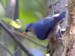Image of Velvet-fronted Nuthatch