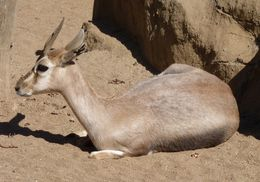 Image of Speke's gazelle