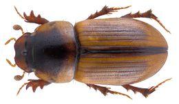 Image of <i>Labarrus lividus</i> (Olivier 1789)