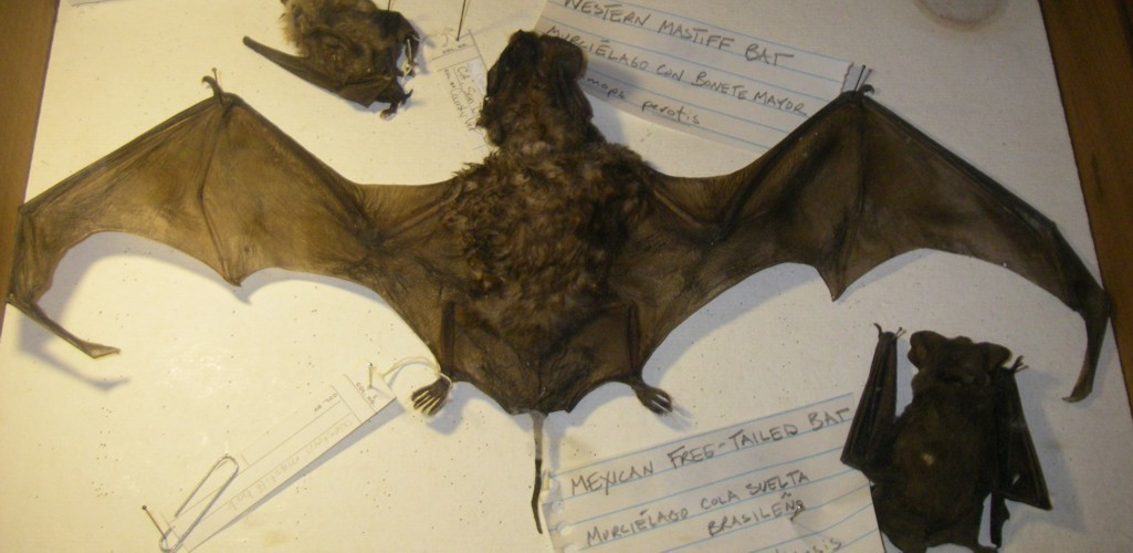 Image of Greater Bonneted Bat