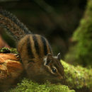 Image of Townsend's Chipmunk