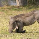 Image of Common Warthog