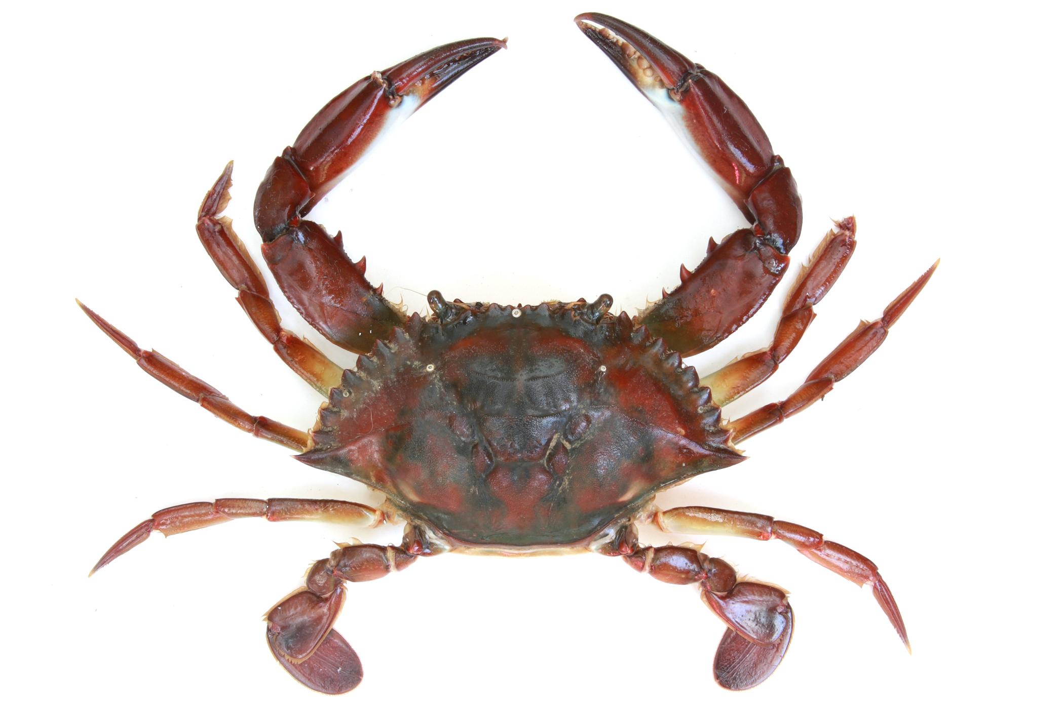 Image of Bocourt swimming crab