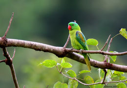 Image of Blue-naped Parrot
