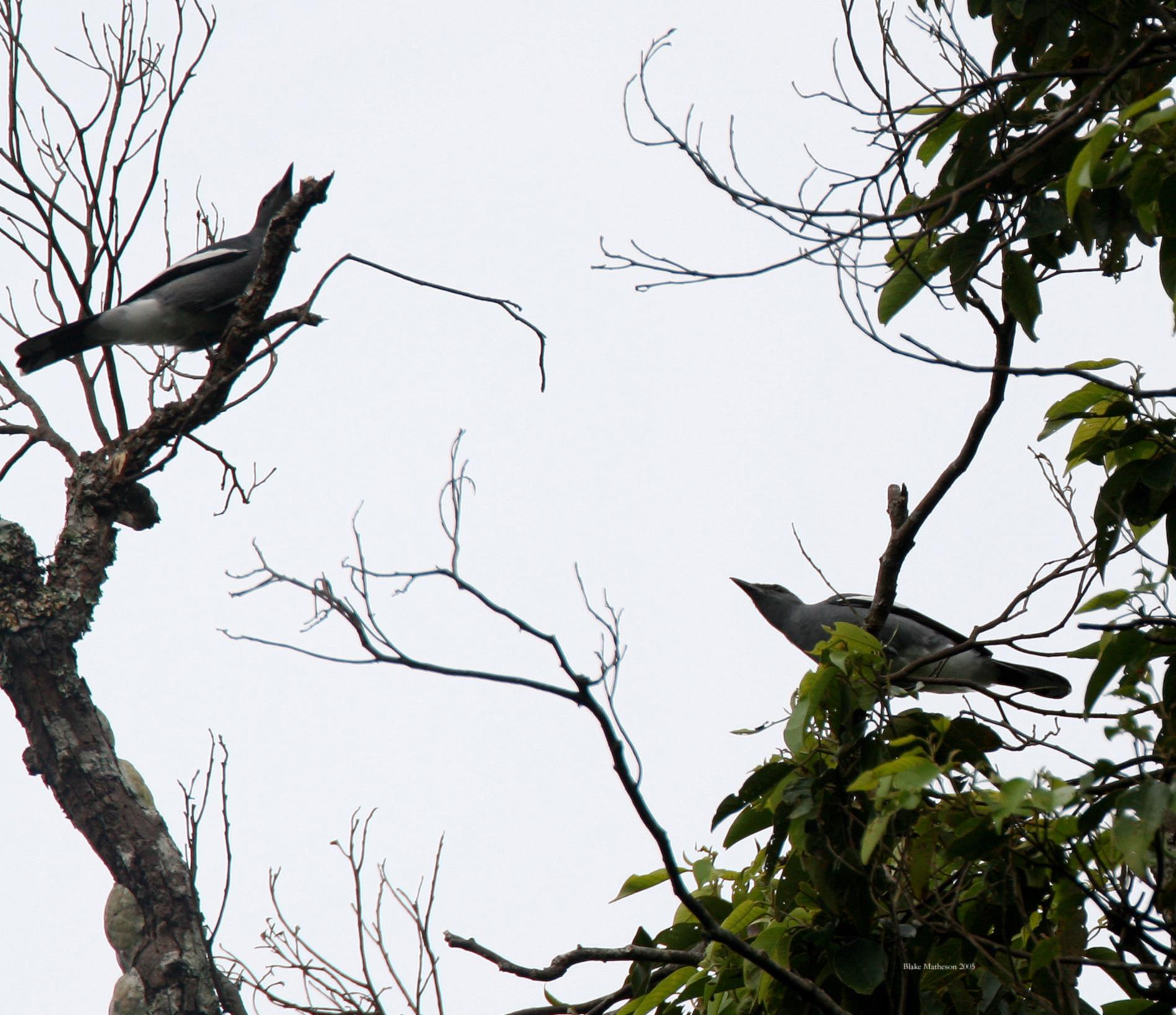 Image of White-winged Cuckooshrike