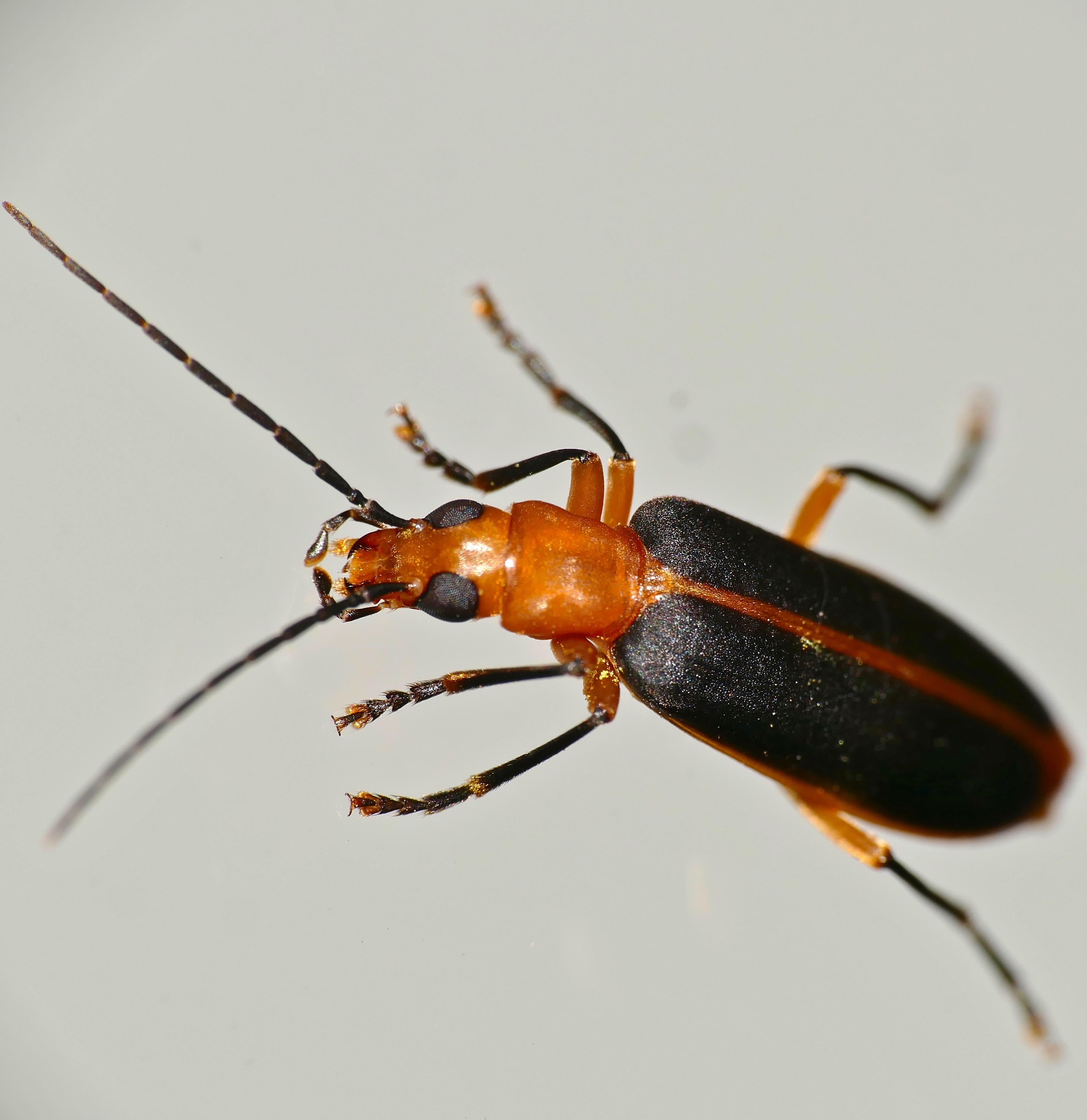 Image of <i>Ditylomorphus inconstans</i>