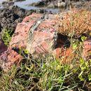 Image of saltmarsh alkaligrass
