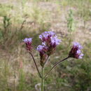 Image of purpletop vervain