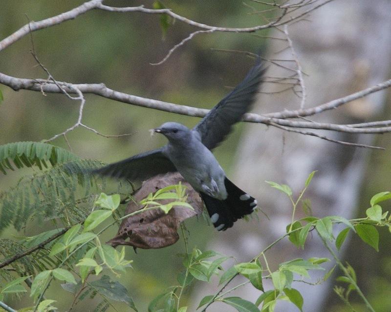 Image of Black-winged Cuckoo-shrike