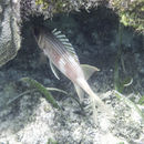 Image of Longspine Squirrelfish