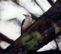Image of White Woodpecker