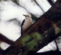 Image of White Woodpecker