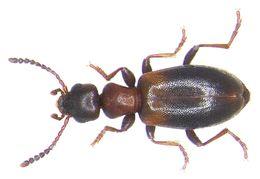 Image of Narrow-necked Grain Beetle
