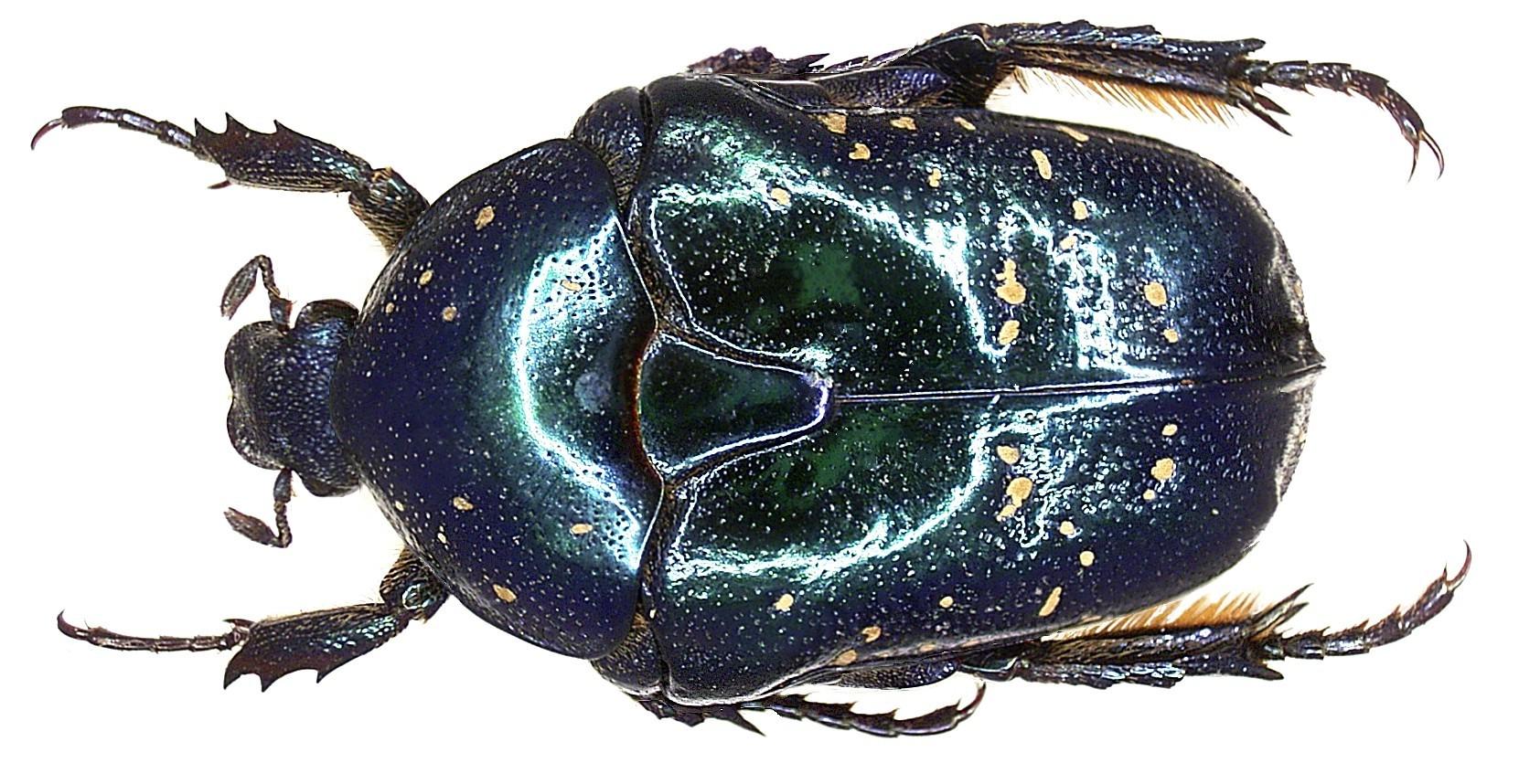 Image of <i>Protaetia</i> (<i>Liocola</i>) <i>formosana</i> (Moser 1910)