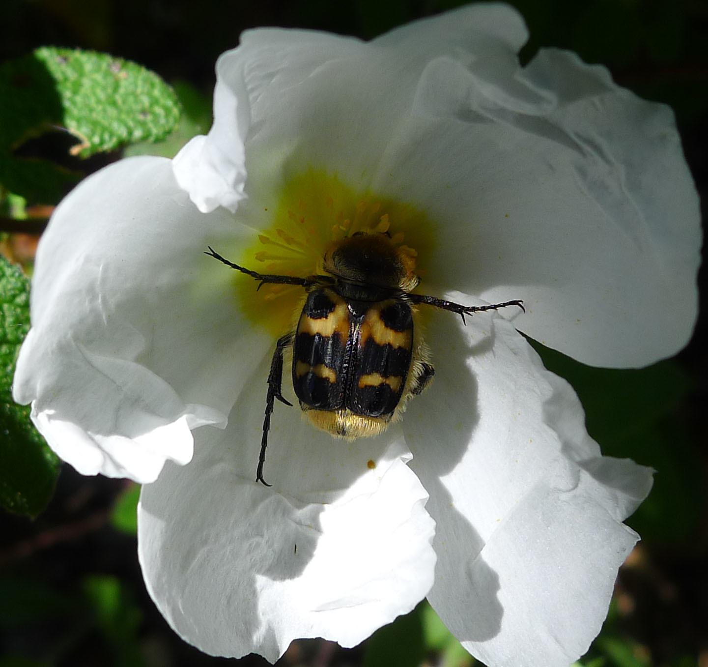 Image of <i>Trichius rosaceus</i>