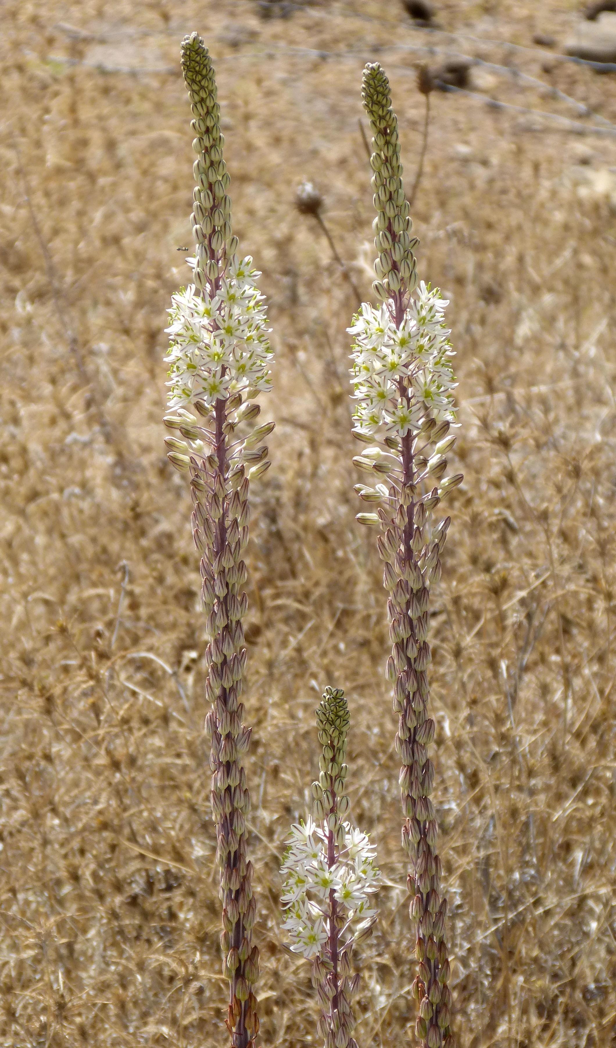 Image of White asphodel