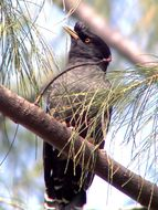 Image of Crested Myna
