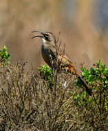 Image of California Thrasher
