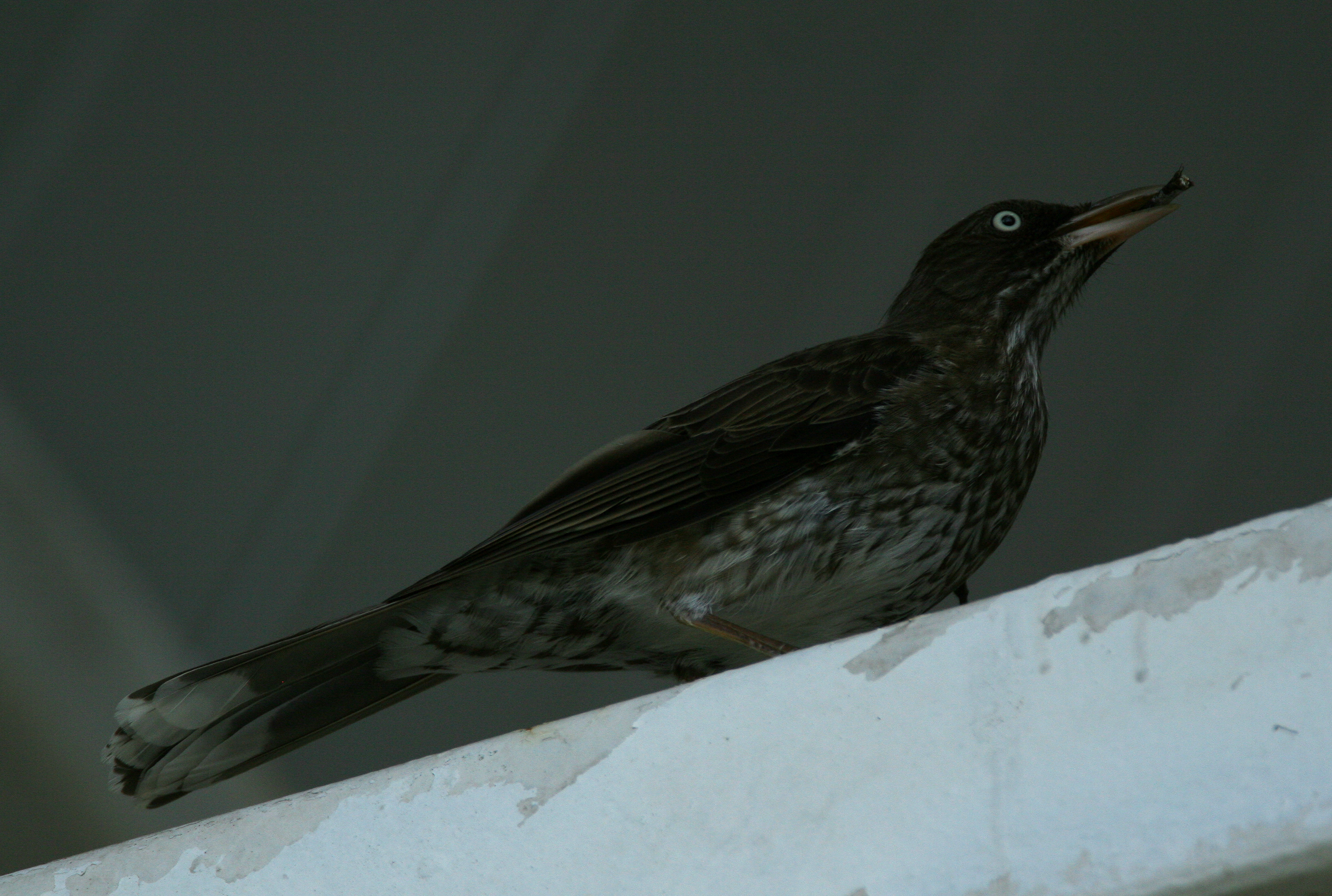 Image of Pearly-eyed Thrasher