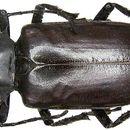 Image of <i>Rhaphipodus fruhstorferi</i>