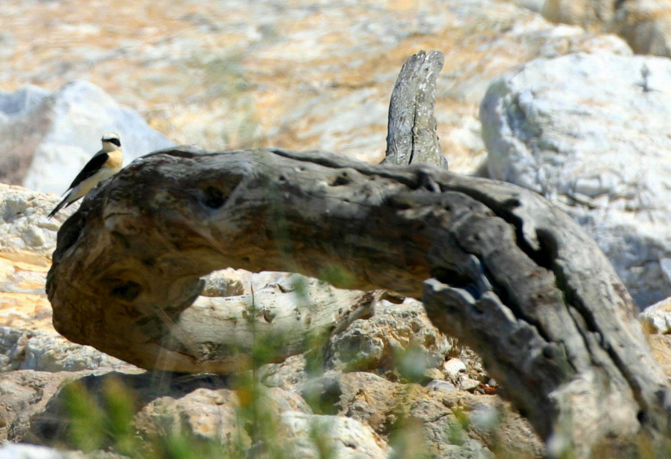 Image of Western black-eared wheatear