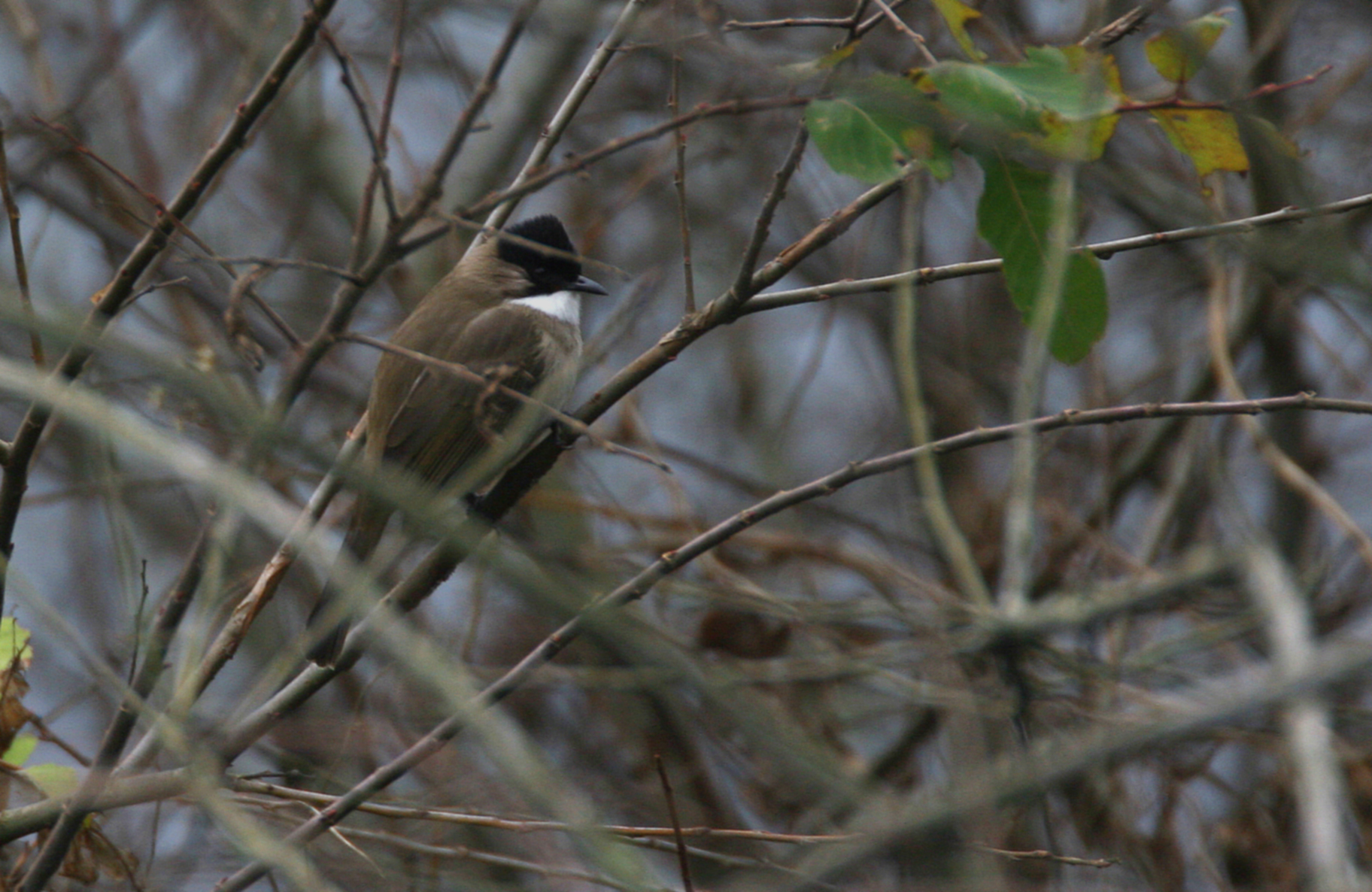 Image of Brown-breasted Bulbul