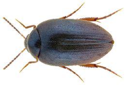 Image of <i>Eucinetus meridionalis</i>