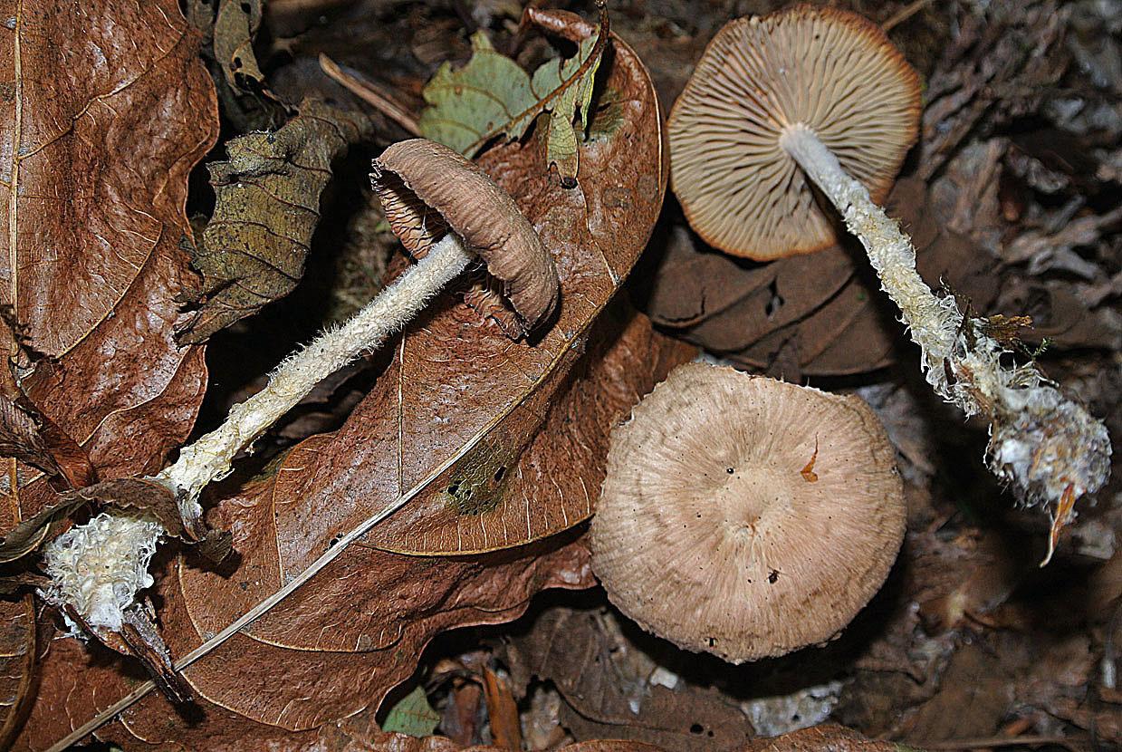 Image of Wood woolly-foot