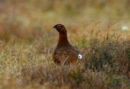 Image of Red Grouse