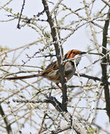 Image of Rufous-eared Warbler