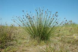 Image of Black Bog-rush