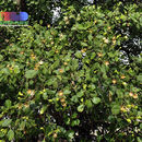 Image of Mangrove apple