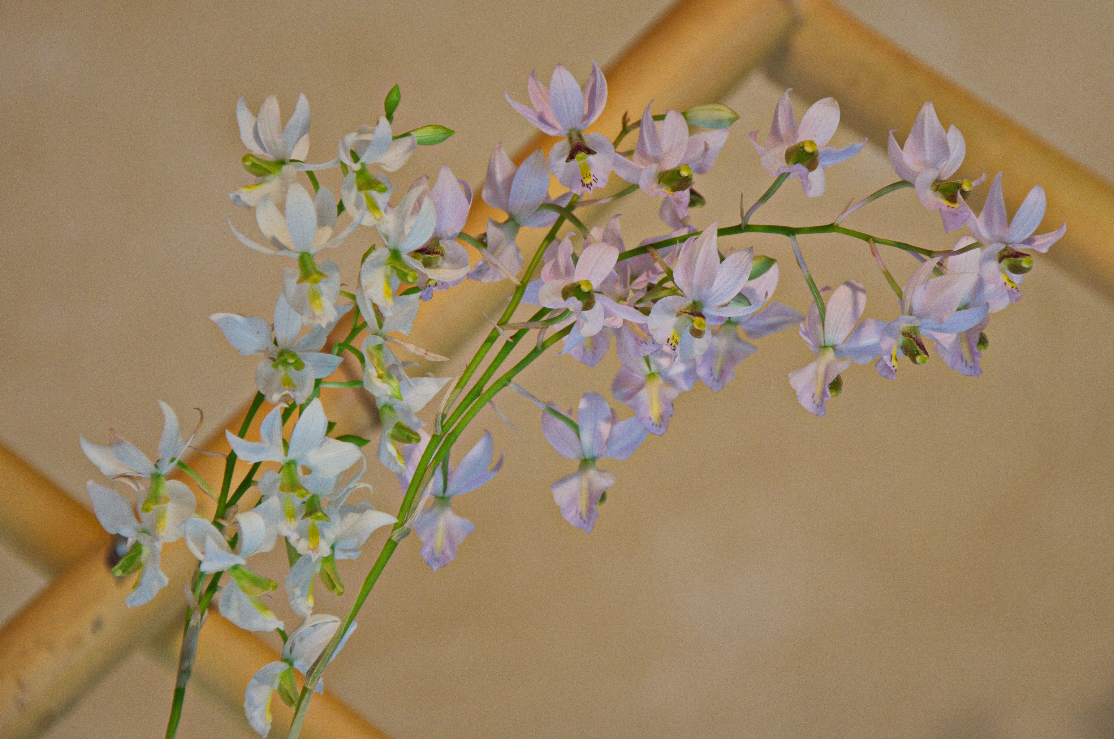 Image of <i>Barkeria warthoniana</i>