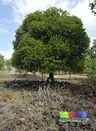 Image of Yellow Mangrove