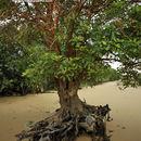 Image of Dhundal tree