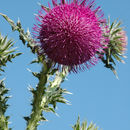 Image of Musk Thistle