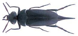 Image of <i>Mordella holomelaena</i> Apfelbeck 1914