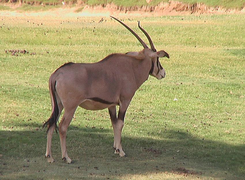 Image of <i>Oryx gazella beisa</i>