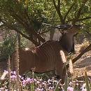 Image of Giant Eland