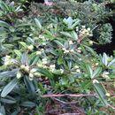 Image of <i>Acradenia frankliniae</i> Kipp.
