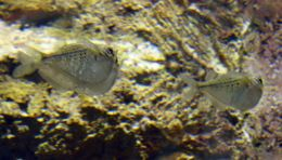 Image of Spotted hatchetfish