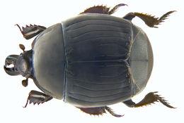 Image of <i>Margarinotus</i> (<i>Ptomister</i>) <i>brunneus</i> (Fabricius 1775)