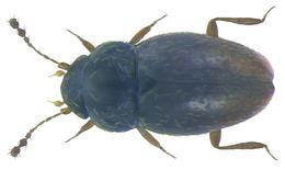 Image of <i><i>Ptenidium</i></i> (Ptenidium) <i>pusillum</i> (Gyllenhal 1808)