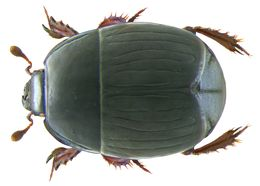 Image of <i>Atholus duodecimstriatus</i> (Schrank 1781)