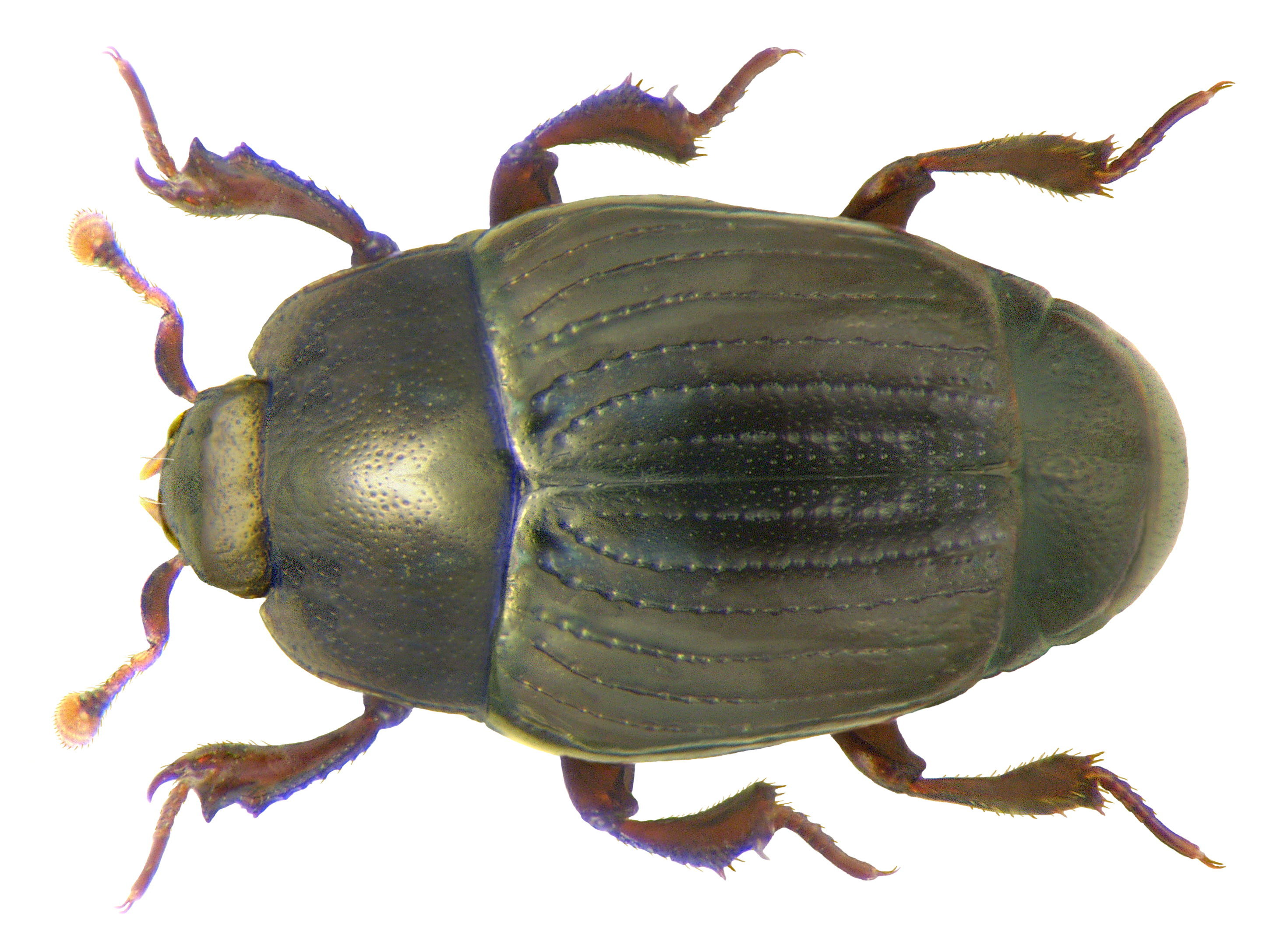 Image of Clown beetle