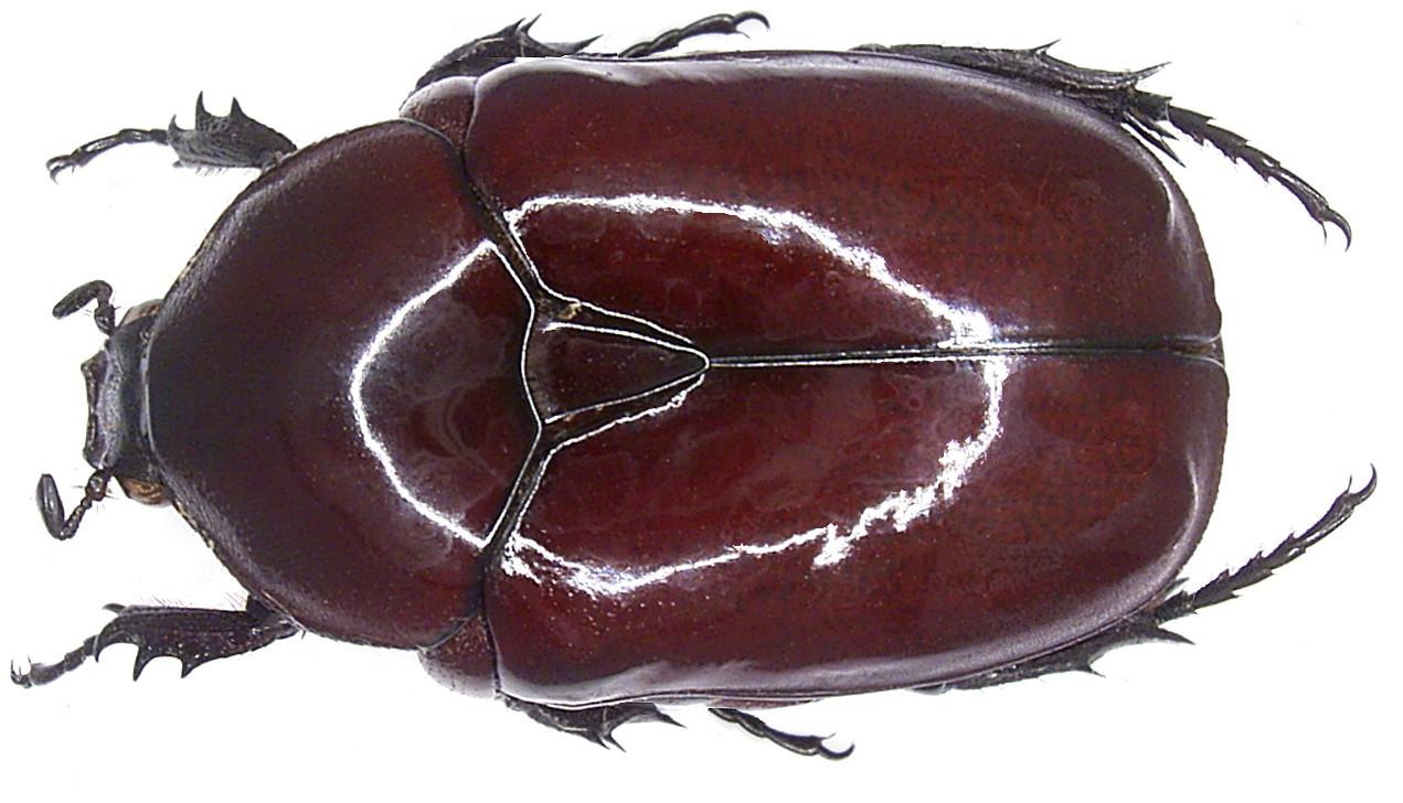 Image of <i>Diplognatha gagates</i> (Forster 1771)
