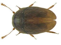 Image of <i>Nossidium pilosellum</i> (Marsham 1802)