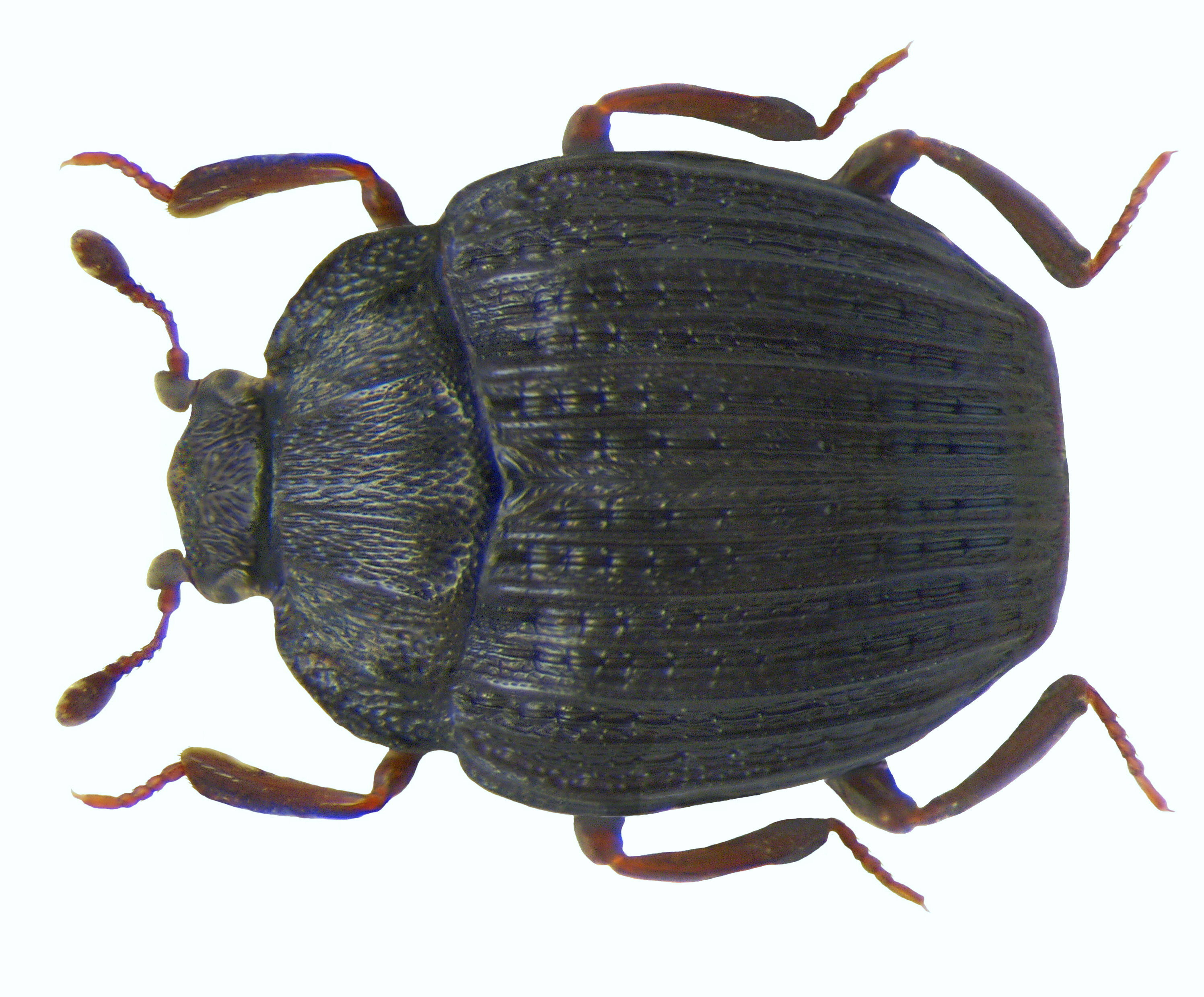 Image of <i>Onthophilus striatus</i> (Forster 1771)