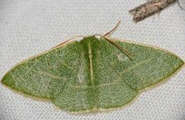 Image of <i>Neromia clavicornis</i> Prout 1915